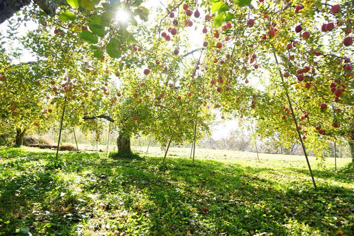 飯綱町のたわわな林檎